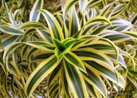 драцена уход в домашних условиях фото желтеют листья