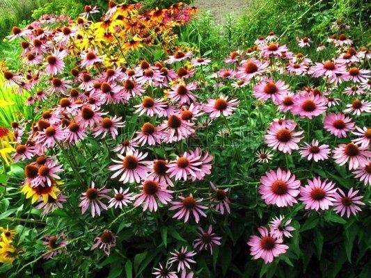 многолетние цветы цветущие неприхотливые