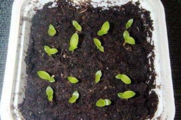 эхмея из семян