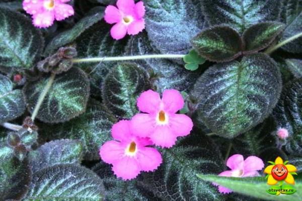 эписция уход в домашних условиях цветение