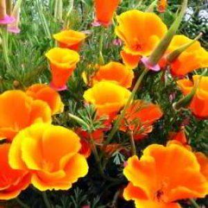 Эшшольция: выращивание из семян, когда сажать в открытый грунт