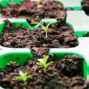 Эустома выращивание из семян, когда сажать на рассаду