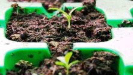 Эустома из семян – когда сажать и как выращивать дома, в открытом грунте