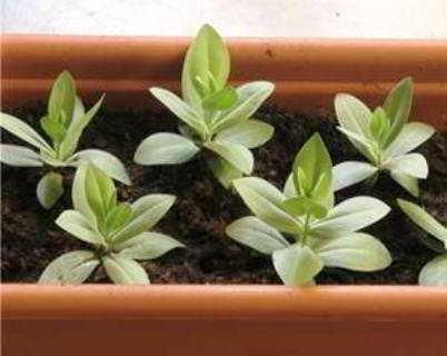 эустома многолетняя в домашних условиях из семян