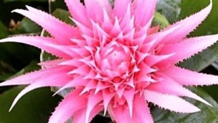 Эхмея: правила ухода за цветком в домашних условиях
