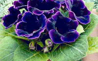 Геснериевые – комнатные цветы для цветоводов-новичков