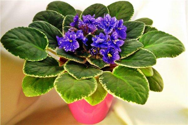 фиалка комнатное растение