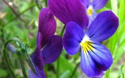 Фиалка: происхождение, родина комнатного растения, страна