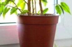 Фикус Бенджамина: желтеют, опадают листья причины и их устранение