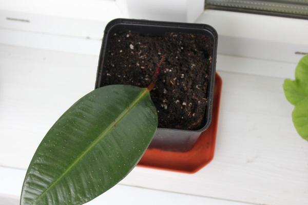 размножение фикуса каучуконосного листом