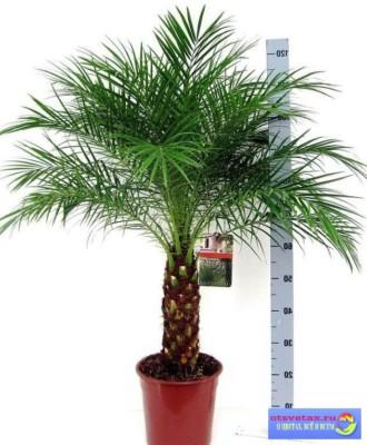 финиковая пальма уход в домашних условиях видео