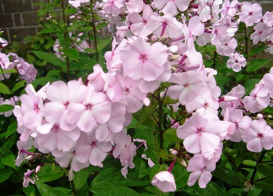 многолетние цветы цветущие все лето фото
