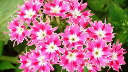 Флокс друммонда: выращивание из семян когда сажать на рассаду