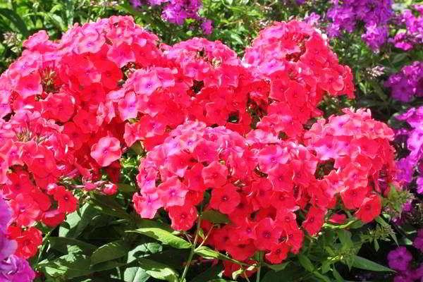 многолетний цветок цветет