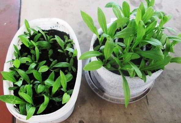 флокс друммонда выращивание из семян рассадой