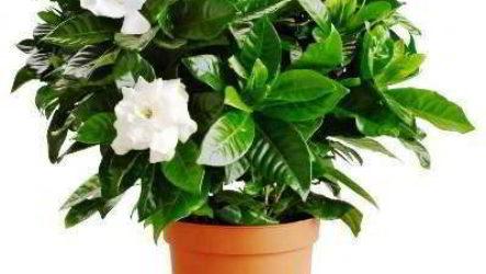Гардения – уход в домашних условиях фото, описание, особенности выращивания