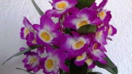 Орхидея дендробиум: правила ухода в домашних условиях
