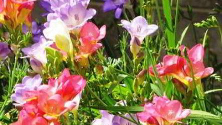 Фрезия: посадка и уход в открытом грунте луковицами весной, осенью