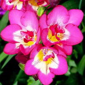 Как вырастить цветок фрезия в домашних условиях
