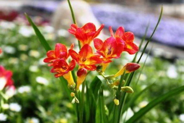 условия выращивания фрезии
