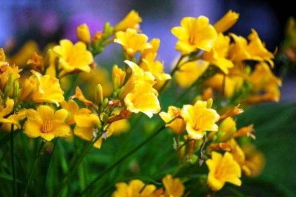 фрезия цветок