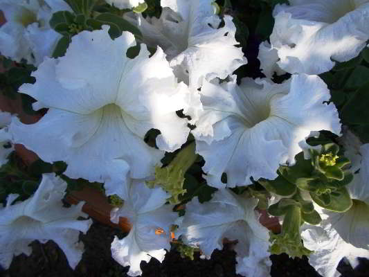 петуния фриллитуния белая