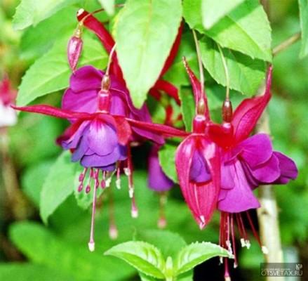 фуксия выращивание и уход в домашних условиях болезни