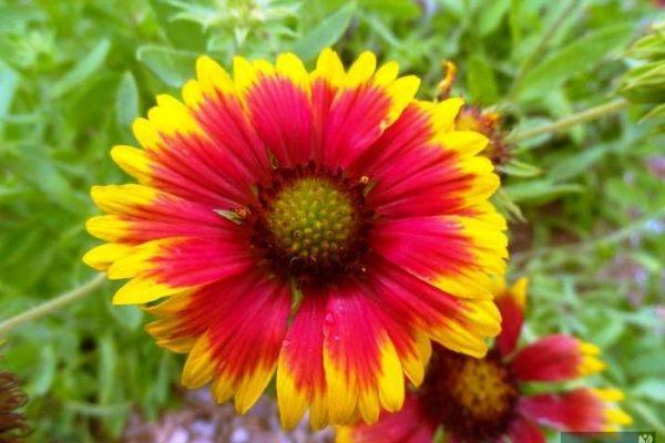гайлардия многолетняя посадка из семян и уход