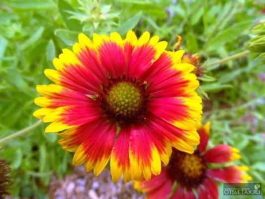гайлардия многолетняя посадка и уход из семян
