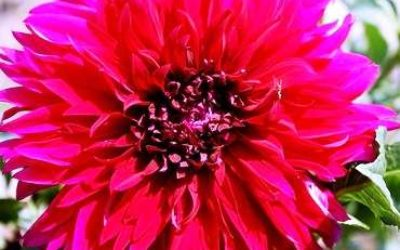 Как вырастить однолетние георгины из семян