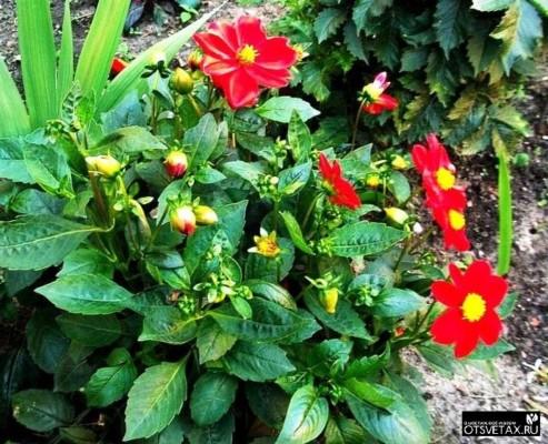 георгина однолетняя выращивание из семян и уход