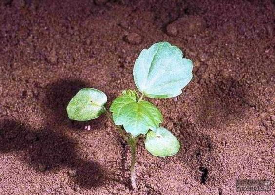 гибискус садовый уход и размножение какая почва