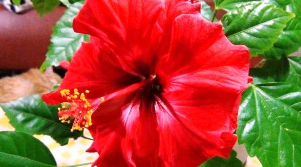 почему гибискус называют цветком смерти