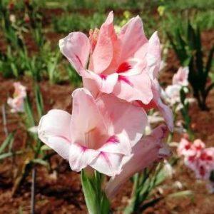 Когда высаживать гладиолусы в открытый грунт весной