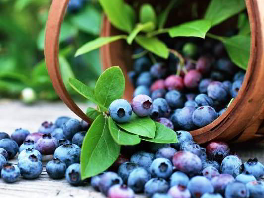 голубика садовая полезные свойства