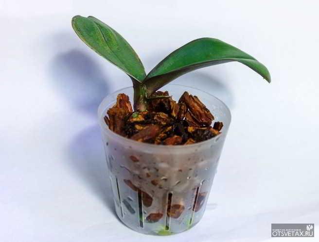 орхидея фаленопсис уход в домашних условиях горшок