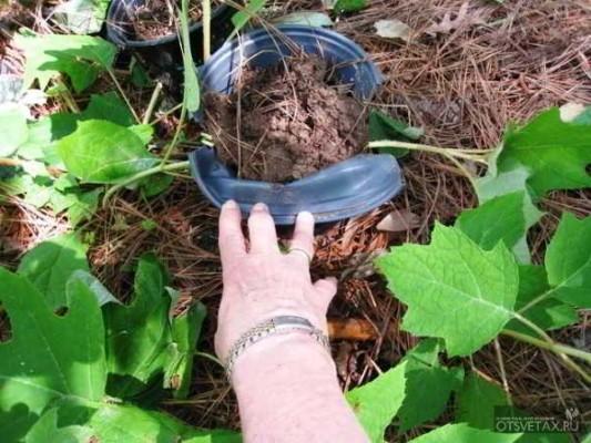 размножение гортензии черенками летом картошкой