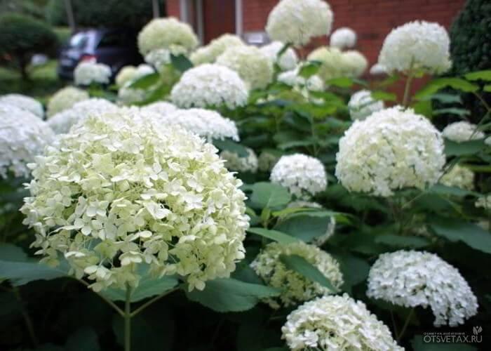 гортензия садовая посадка и уход в открытом грунте белая