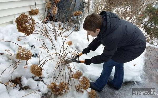 как укрыть на зиму гортензию метельчатую
