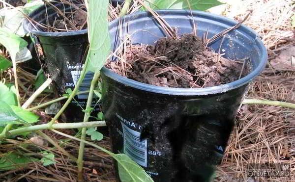 размножение гортензии черенками летом для