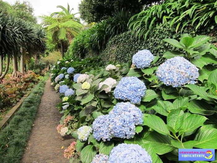 гортензия садовая посадка и уход в открытом грунте видео
