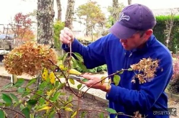 садовая гортензия уход осенью подготовка к зиме