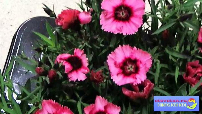 гвоздика китайская выращивание из семян уход
