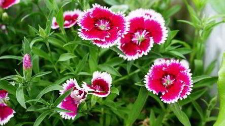 Китайская гвоздика – выращивание из семян