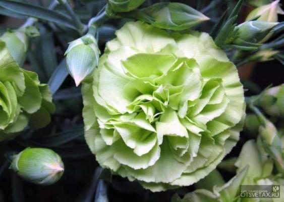 гвоздика садовая многолетняя посадка и уход фото и видео