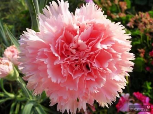 гвоздика садовая многолетняя посадка и уход фото шабо