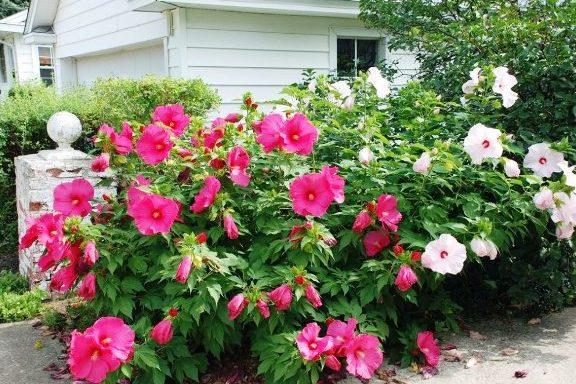 гибискус садовый цветок смерти