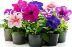 Цветущие цветы комнатные фото и названия