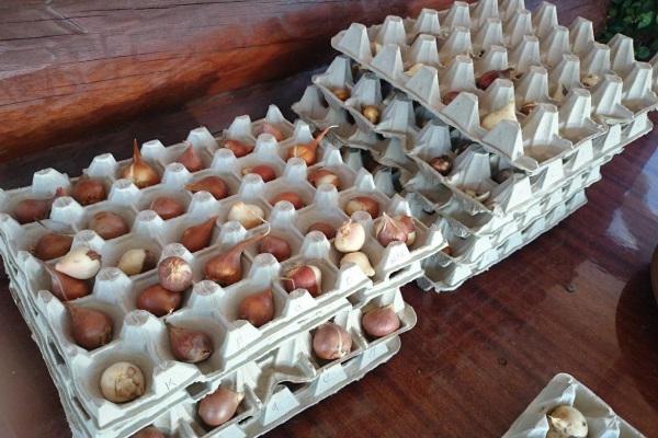 как хранить выкопанные луковицы тюльпанов до осени