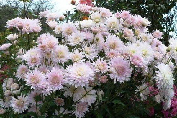 хризантема кустовая садовая многолетняя посадка и уход фото